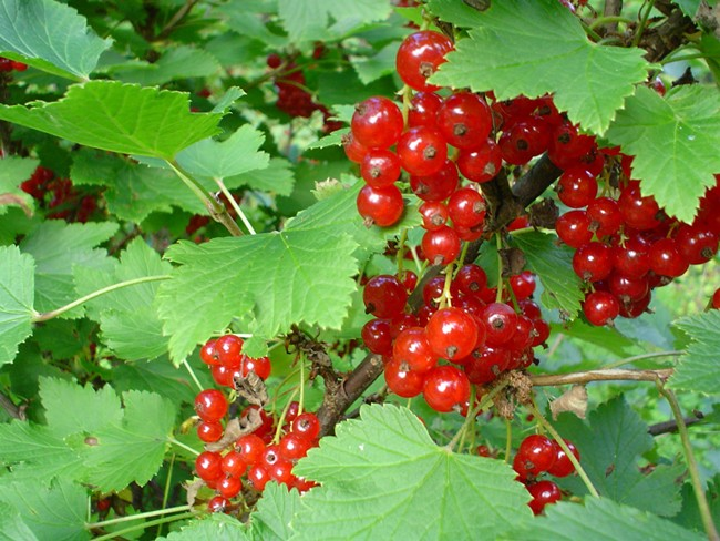 Edible Wild Berries And Plants Edible Wild Plants