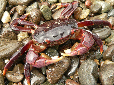 Image result for shore crabs